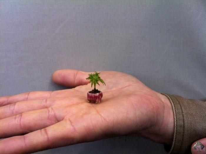 Teeny Tiny Bonsai #foliar