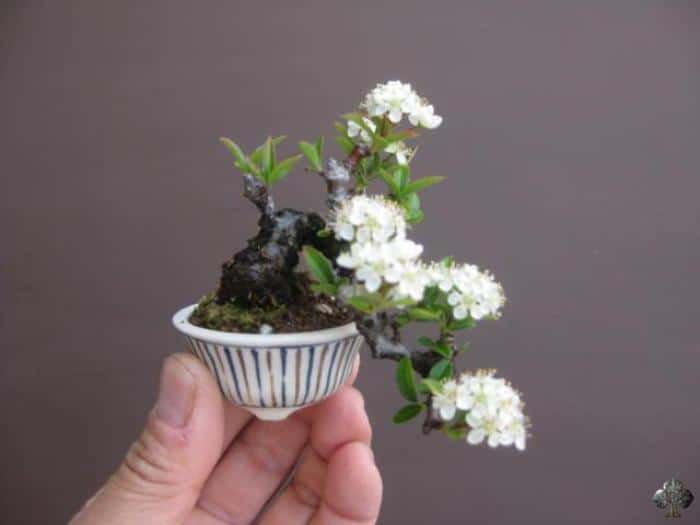 Bonsai with flowers #blooming