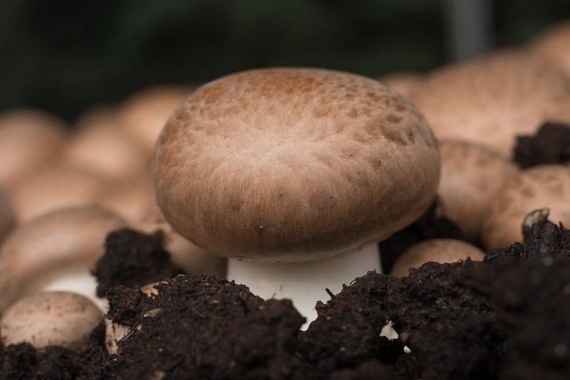 A beautiful portobello mushroom
