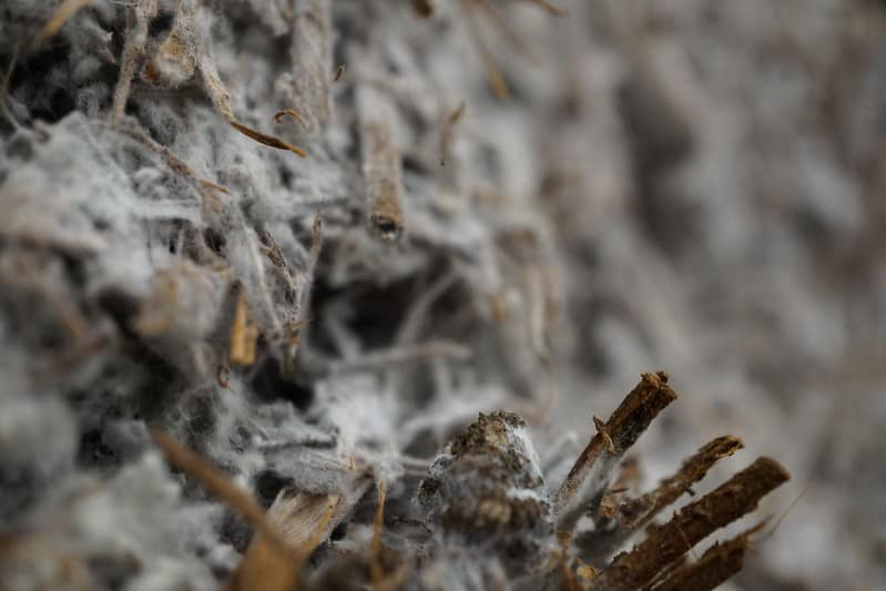 A white film or Mycelium begins to form