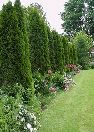 A tree fence for privacy #tree #fence #privacy #privacylandscape #backyardLandscaping #backyardLandscapingIdeas #landscaping #backyard #outdoor #lawn