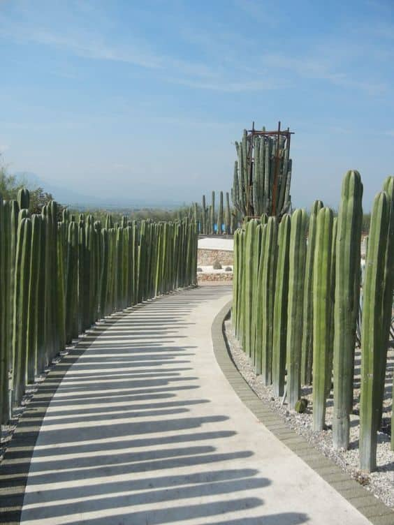 tall cacti on both side of a pathway