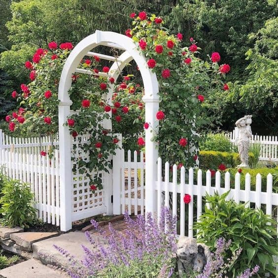 White picket with arch arbor and red rose bushes