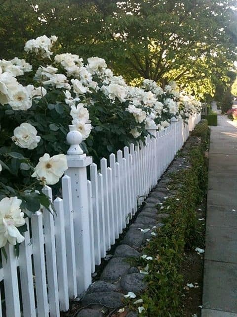 alternating white picket fence and white beautiful flowers