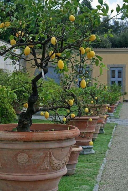 lemon trees in a bid pot  #flowers #containers #planters #gardenplanters #garden #backyardLandscaping #backyardLandscapingIdeas #landscaping #cheapLandscapingIdeas #backyard #landscaping #curbAppeal