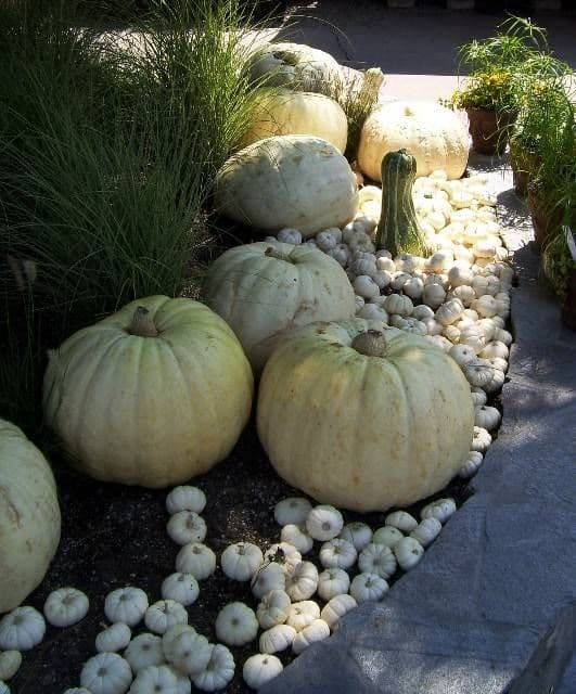 Nestle White Pumpkins Into Your Garden Beds #walkway #pathway #fall #autumn #garden #backyardLandscaping #backyardLandscapingIdeas #landscaping #cheapLandscapingIdeas #landscape #outdoorSpace #backyard #backyardDecor #outdoordecor #pumpkins
