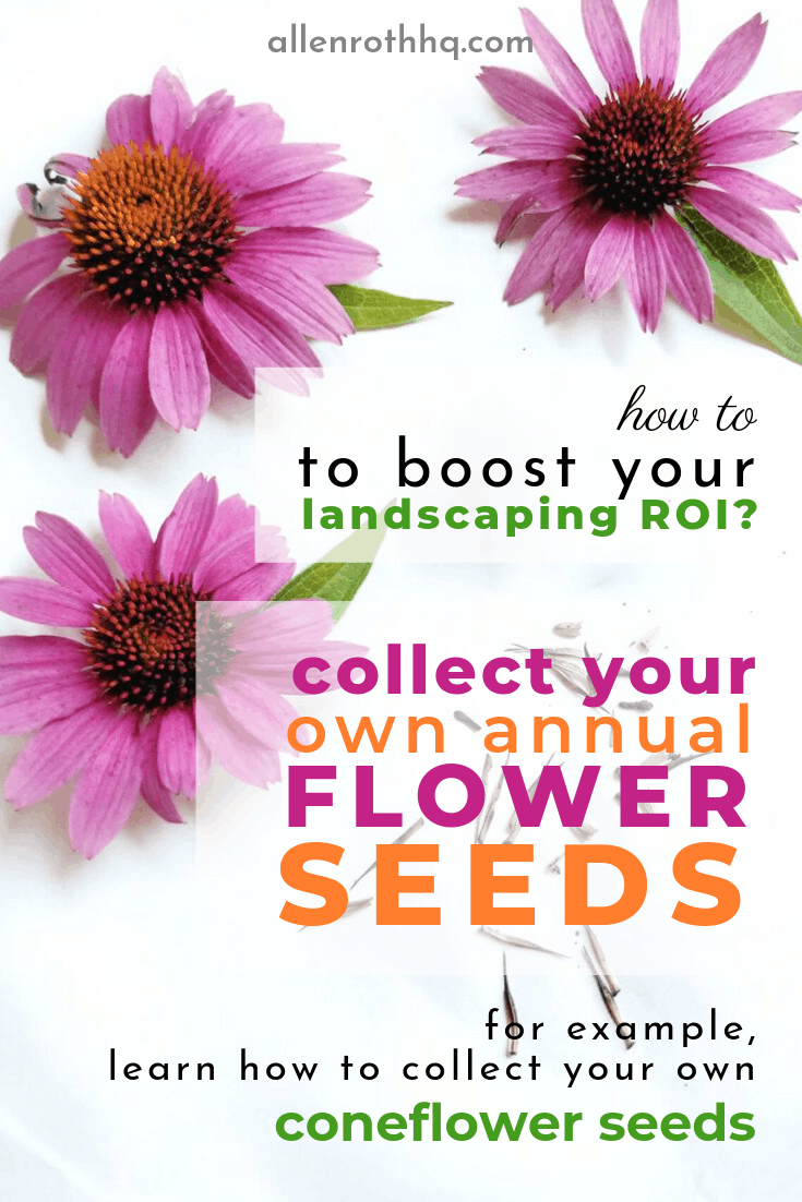 How to reduce landscaping costs? Harvest your own annual flower seeds #flowers #anestwithayard #seeds #seedHarvesting #seedsaving #annualflowers #echinacea #cheapseeds #backyardLandscaping #landscaping #garden #gardening #gardenTips #diy #gardenDIY #cheapLandscapingIdeas #backyardLandscaping #backyardLandscapingIdeas