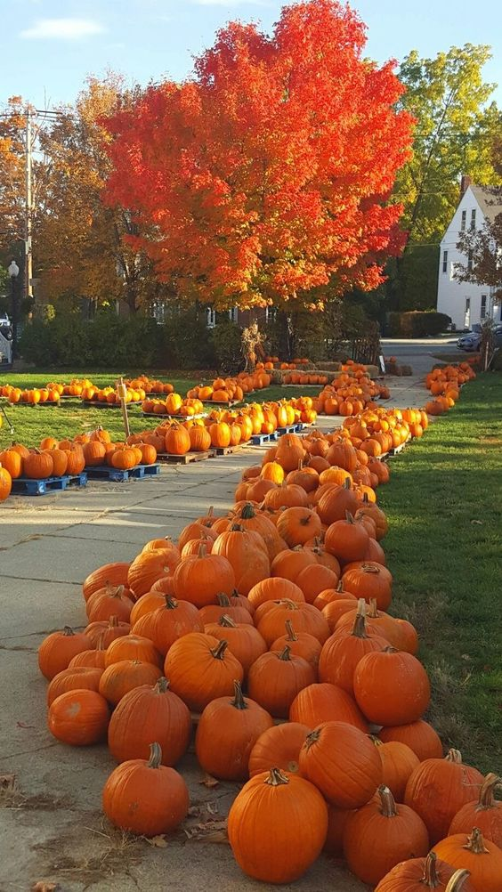 piles of pumpkin on both sides of the pathway #walkway #pathway #fall #autumn #garden #backyardLandscaping #backyardLandscapingIdeas #landscaping #cheapLandscapingIdeas #landscape #outdoorSpace #backyard #backyardDecor #outdoordecor #pumpkins