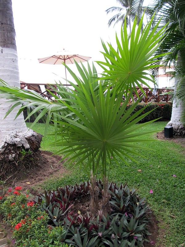 Windmill Palm Tree Fully Grown #hardyPalmTree #hardyPalmTrees #palmTrees #zone7 #hardyPlants #outdoorplants #garden #landscaping #gardening