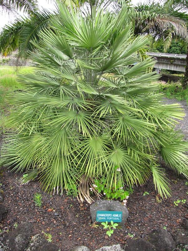 Fan Palm Tree #hardyPalmTree #hardyPalmTrees #palmTrees #zone7 #hardyPlants #outdoorplants #garden #landscaping #gardening
