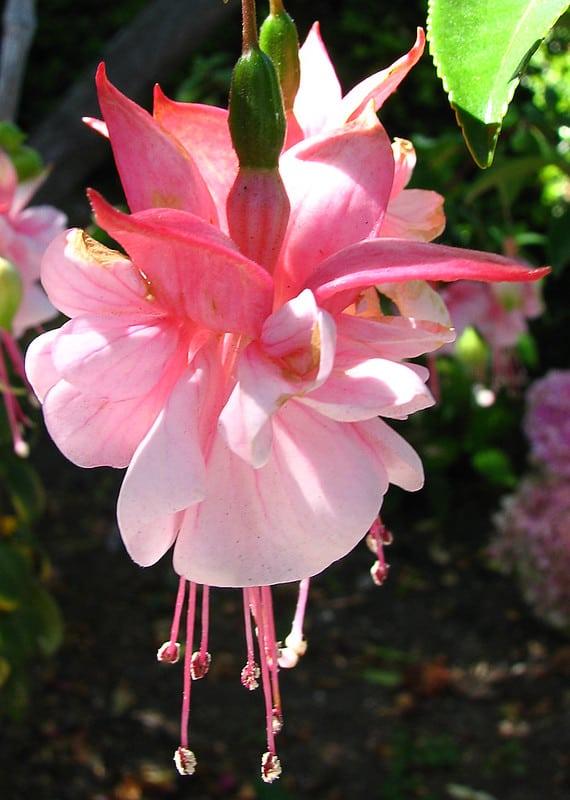 Fuschia Bell-Shaped Flowers #bellflowers #annualflowers #flowers #backyardGarden #garden #gardening #gardenTips #gardencare #bush