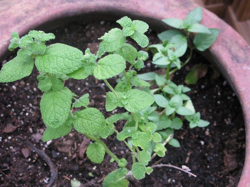 Beautiful mint plant in a pot
