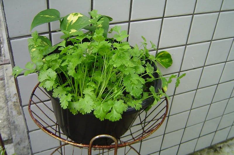 A pot with cilantro
