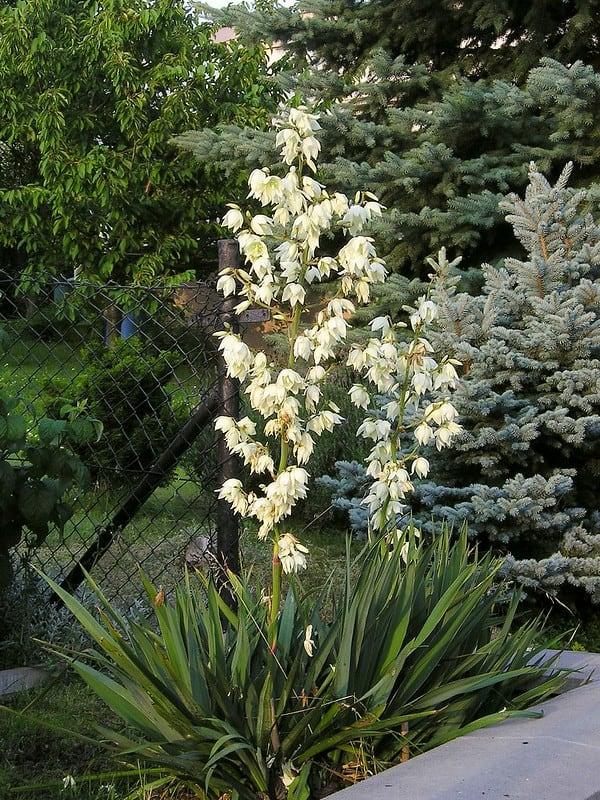 Yukka (Yucca filamentosa)