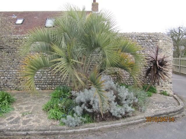 Pindo Palm Tree #hardyPalmTree #hardyPalmTrees #palmTrees #zone7 #hardyPlants #outdoorplants #garden #landscaping #gardening