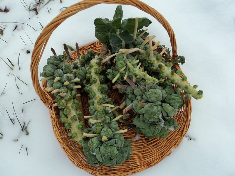 Harvesting Brussels sprouts after snow