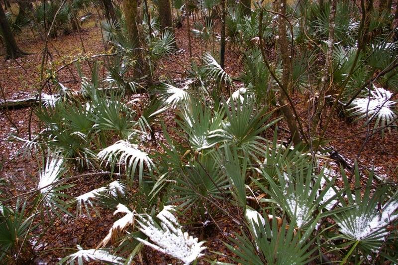 Dwarf Palmetto amidst the snow #hardyPalmTree #hardyPalmTrees #palmTrees #zone7 #hardyPlants #outdoorplants #garden #landscaping #gardening