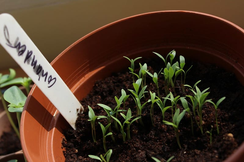 Coriander seedlings growing beautifully in a pot