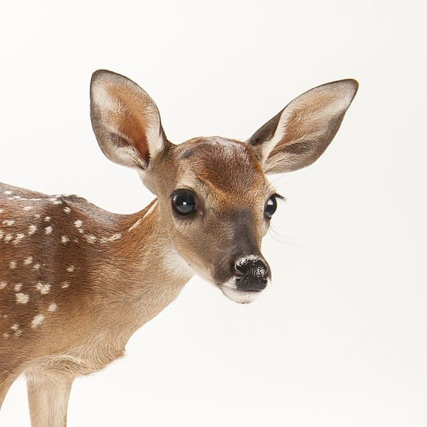 A three-week-old white-tailed deer fawn