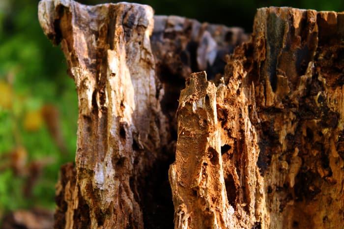 Rotten wood trunk