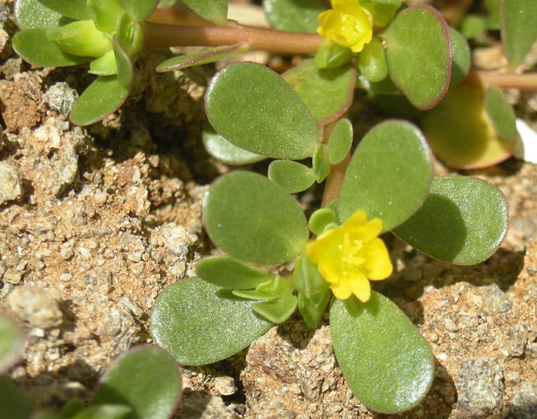 A budding Purslane plant on soil #weeds #gardening #lawn #plants #flowers #backyard #backyardLandscaping