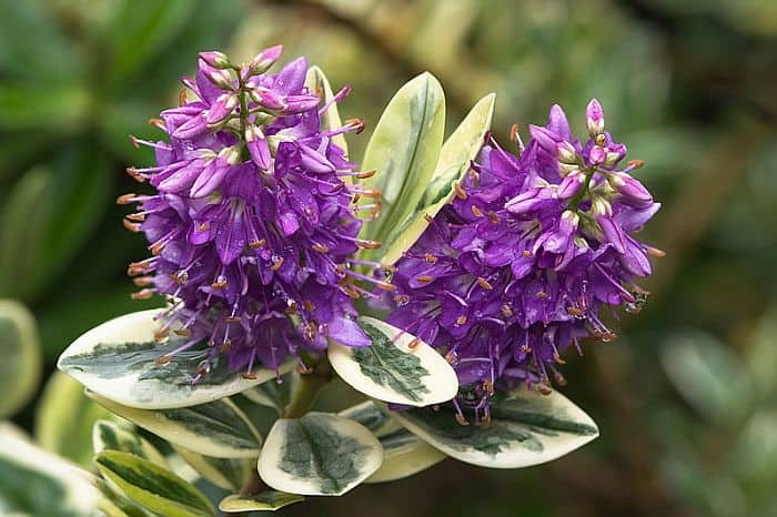 Purple Hebes