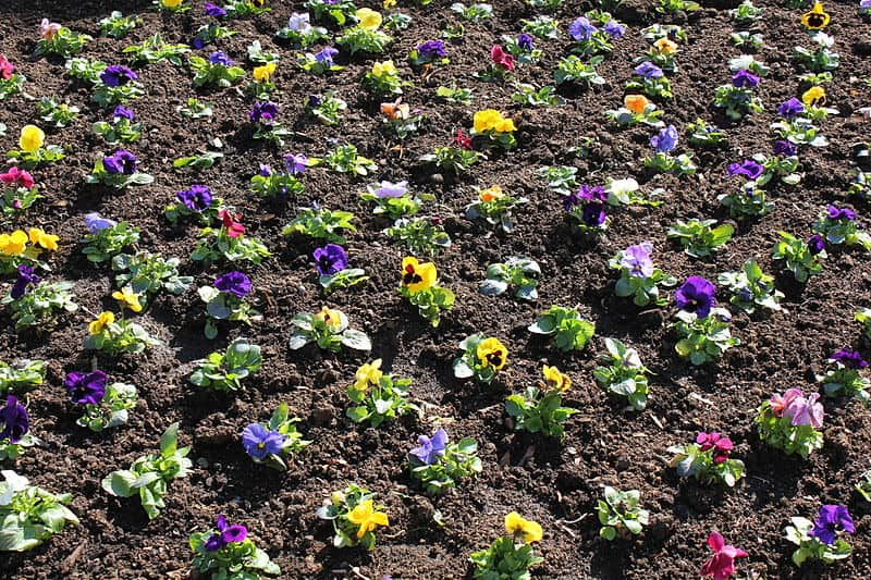 Grids of freshly planted flowers