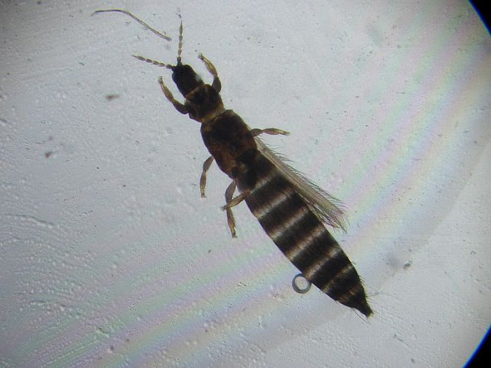 Thrips up close