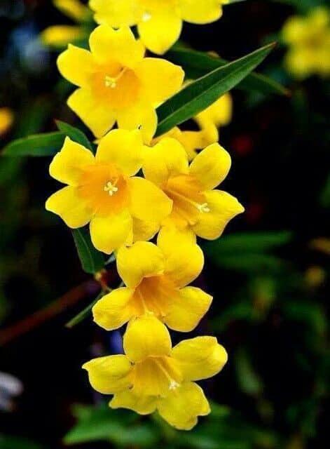 Yellow Carolina Jessamine Heather Bell-Shaped Flowers #bellflowers #annualflowers #flowers #backyardGarden #garden #gardening #gardenTips #gardencare #vines
