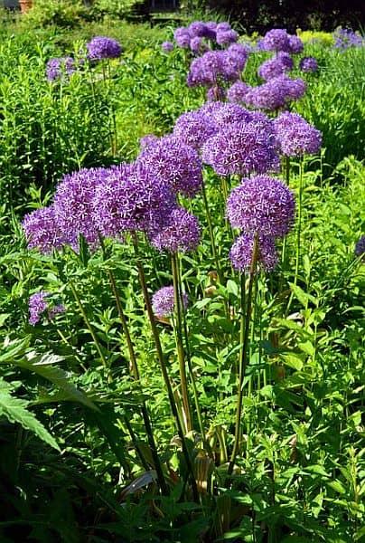 Allium with purple blooms