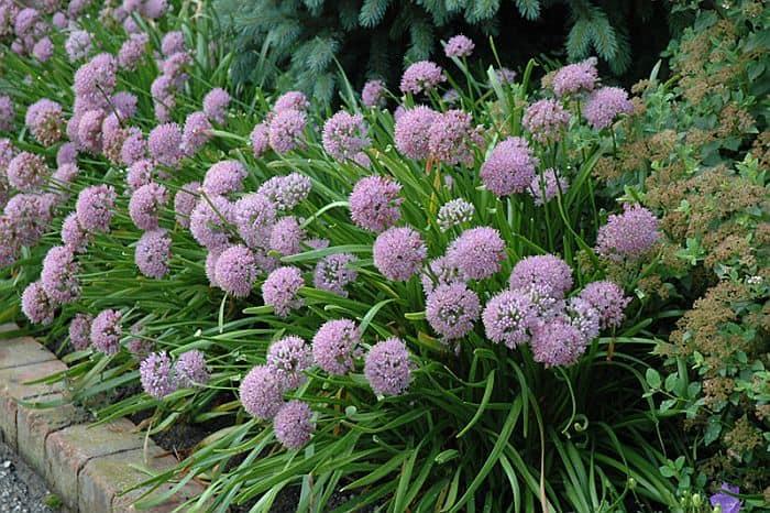 Ornamental alliums with their purple flowers in bloom