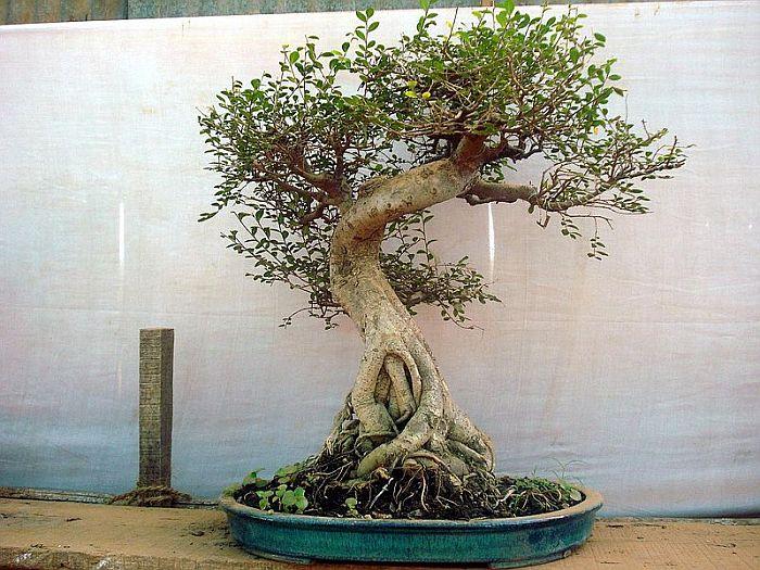 A bonsai tree in a shallow pot