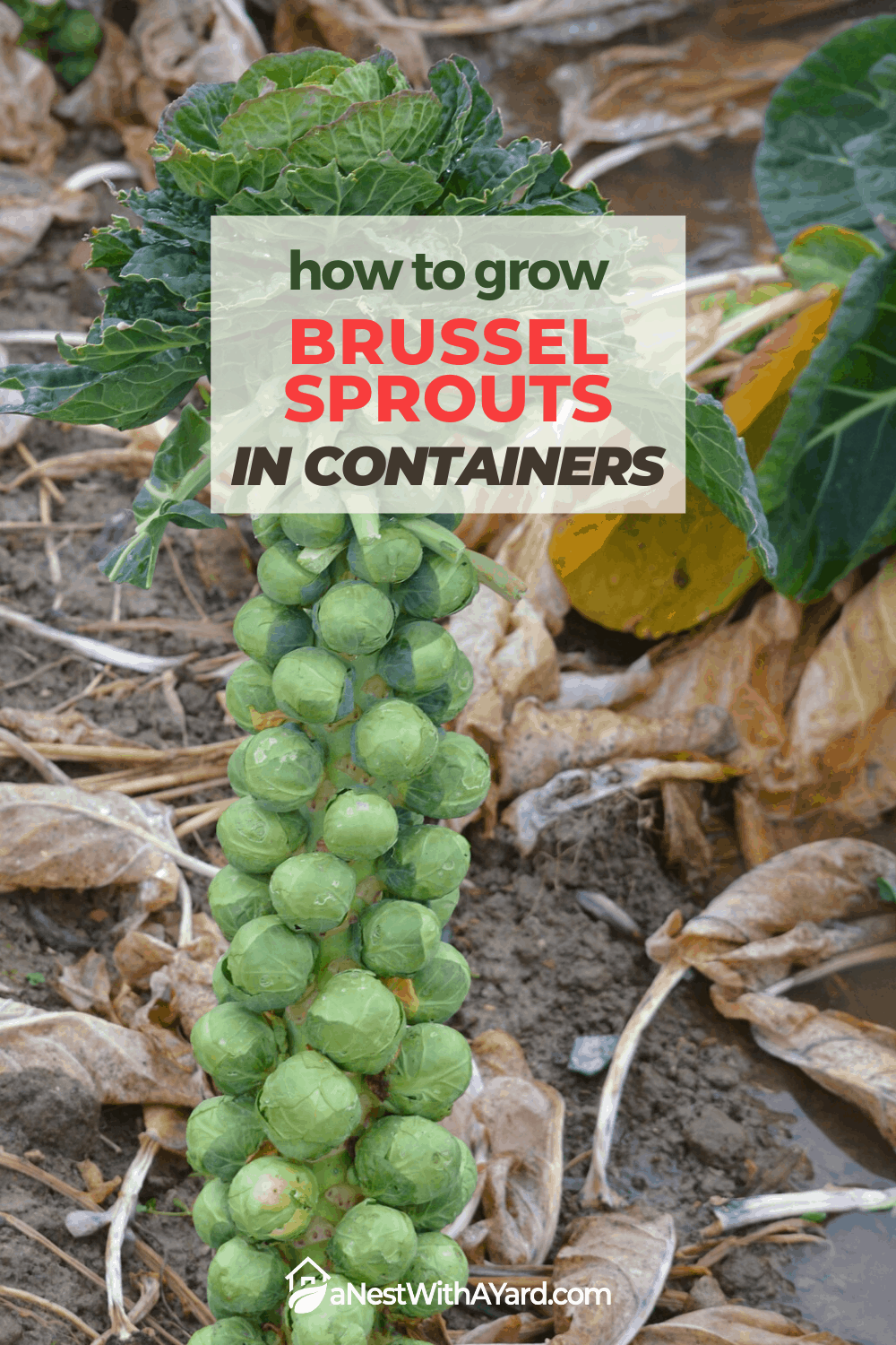How to Grow Brussel Sprouts in Containers 2