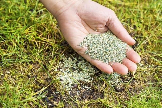 A handful of Grass seeds