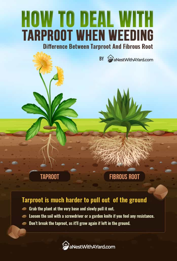 INFOGRAPHICS: How To Deal With Tarproot When Weeding