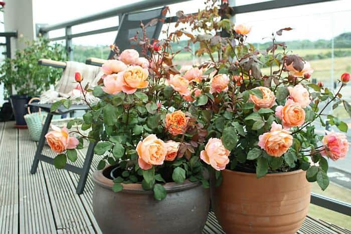 A couple of potted flowering rose bushes