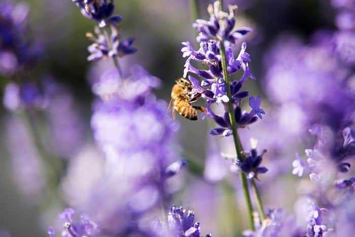 Lavender Flower with a bee on it