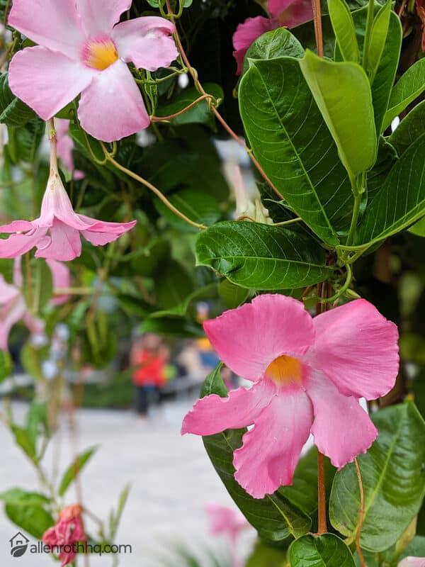 Pink Mandevilla Bell-Shaped Flowers #bellflowers #annualflowers #flowers #backyardGarden #garden #gardening #gardenTips #gardencare #vines