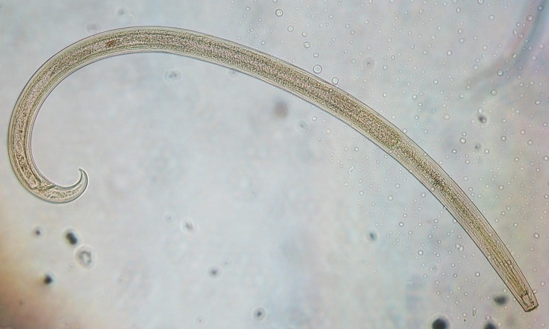 Nematodes microscopic shot