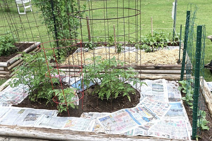 Newspaper sheets covering soil for mulching