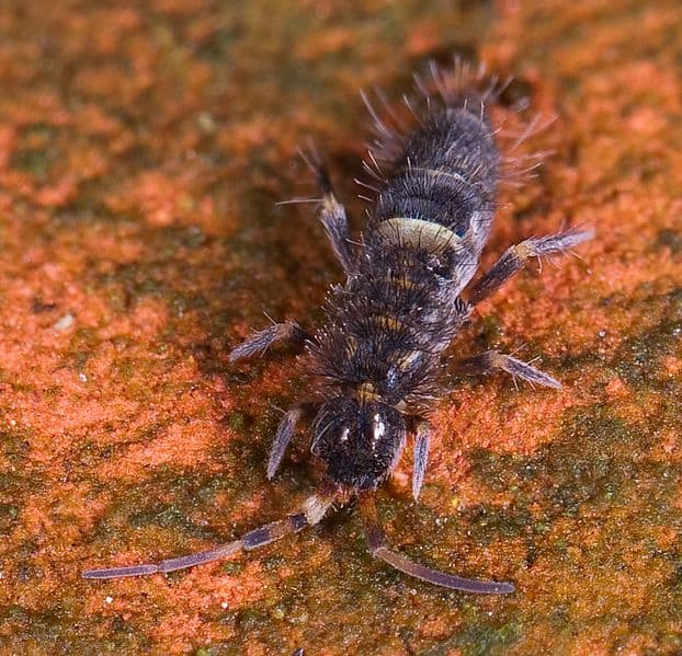 Springtail insect