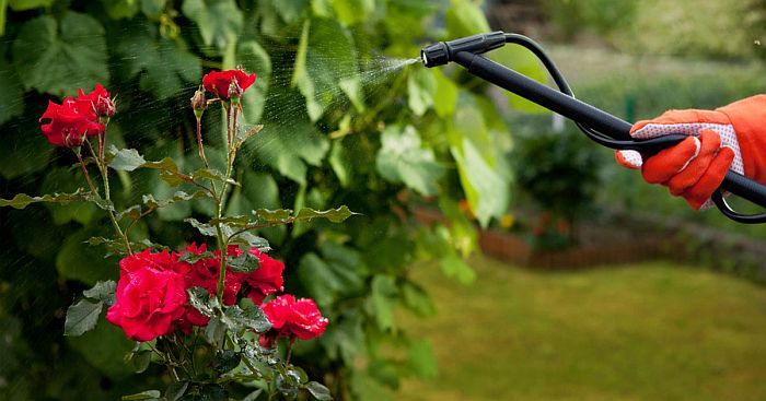 Rose plant being sprayed with a clear liquid.