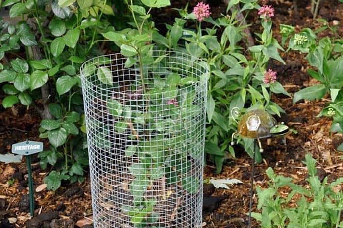 A rose plant with chicken wire around it