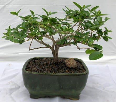 Blooming bonsai #blooming