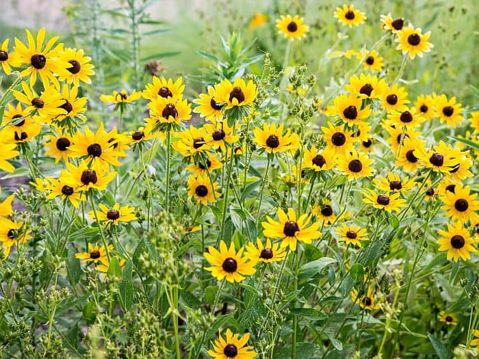 A bunch of black-eyed susan