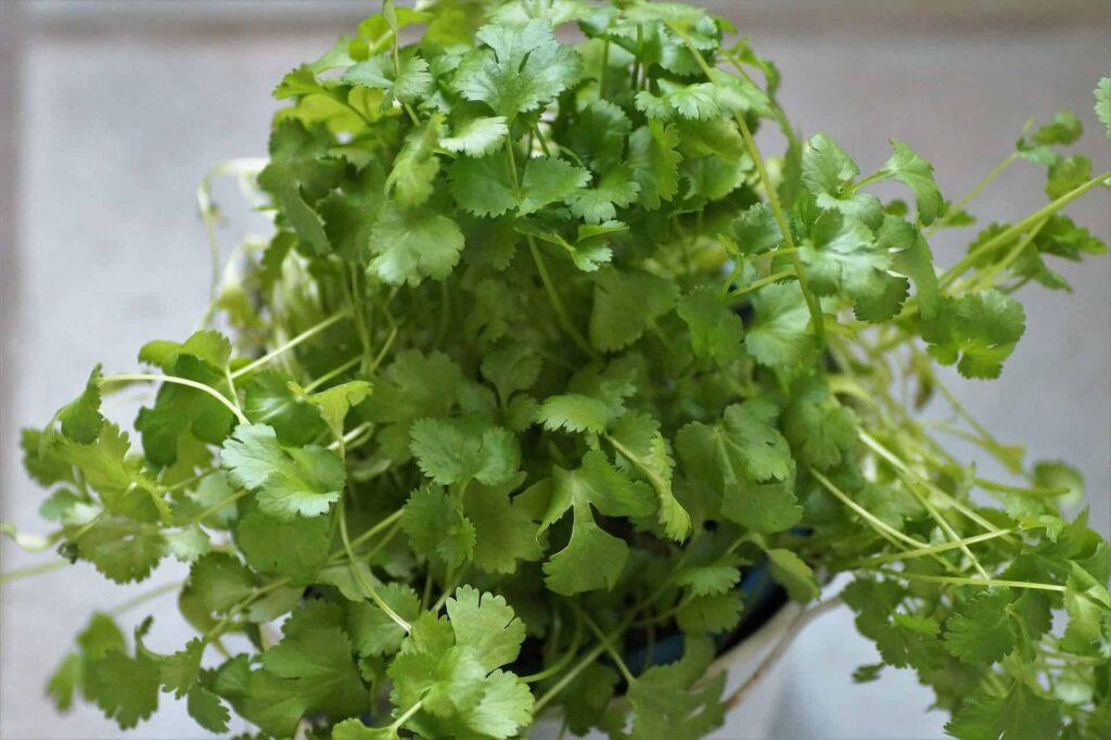 How to grow cilantro indoors