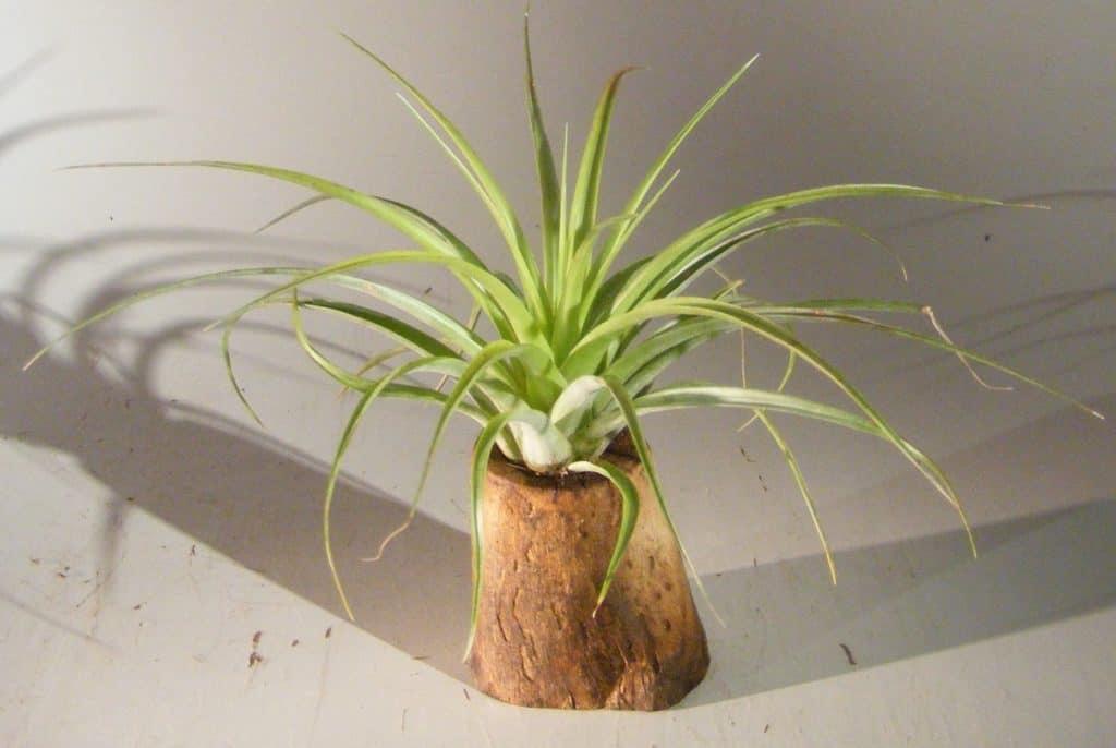 Lovely bonsai #varia