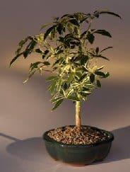 Golden bonsai but is green #foliar