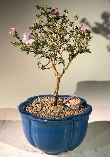 Pink blooming bonsai #blooming