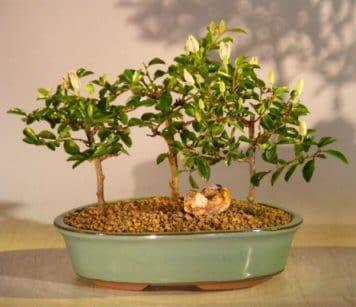 Bonsai in green tub #blooming